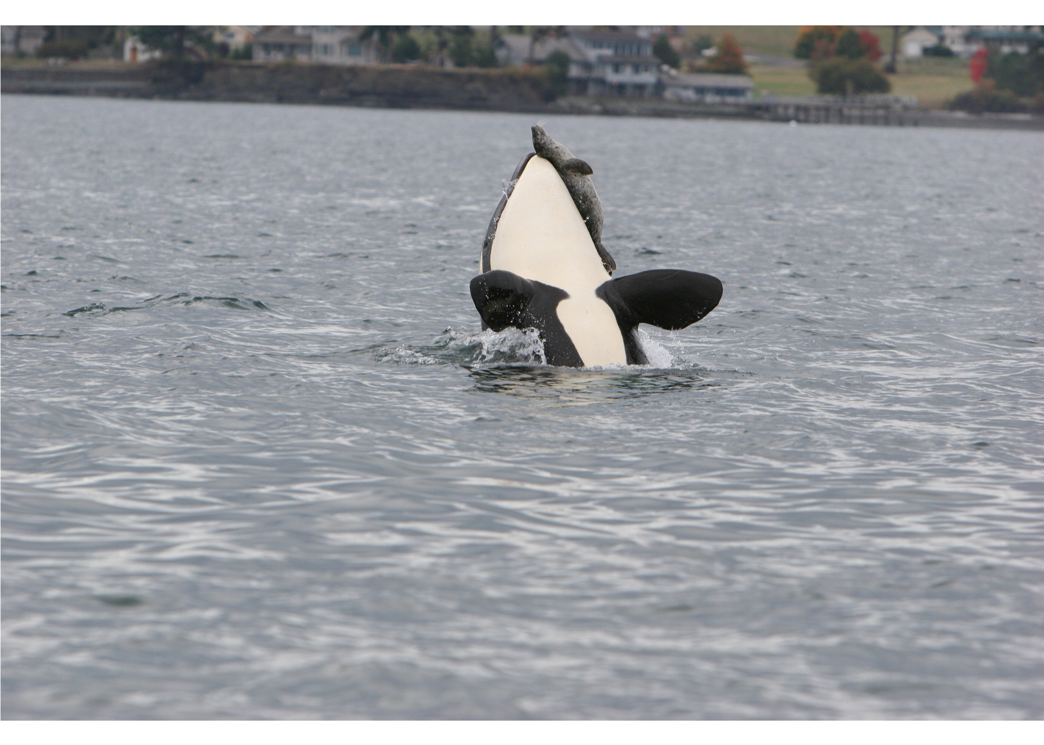 orca whale hunting