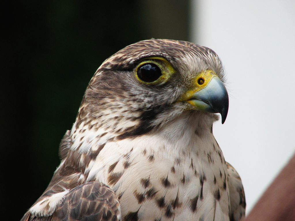 Falcon by Hans Splinter