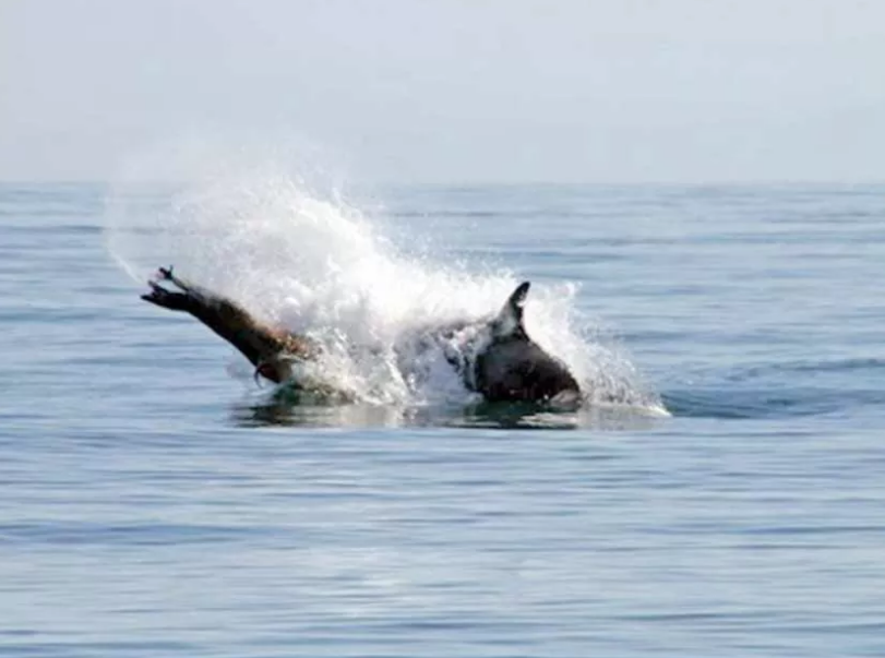 stellar sealion and orca whale