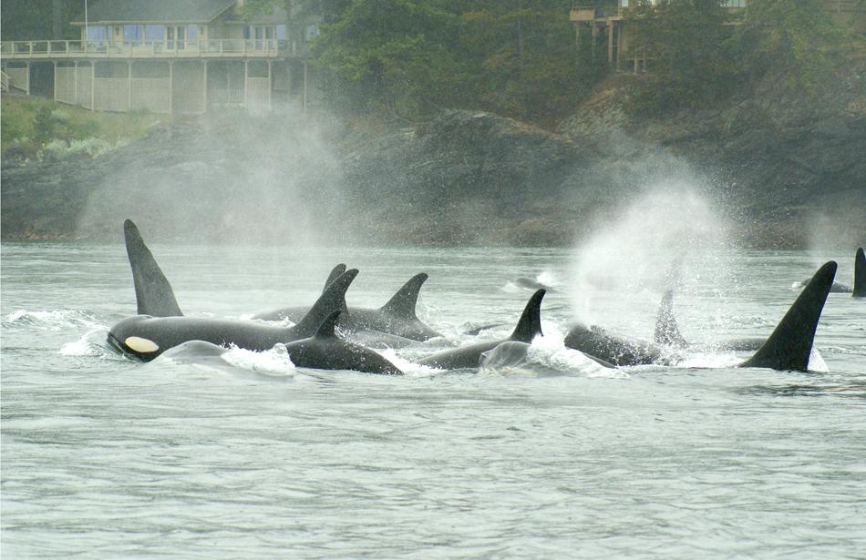 orca whale pod