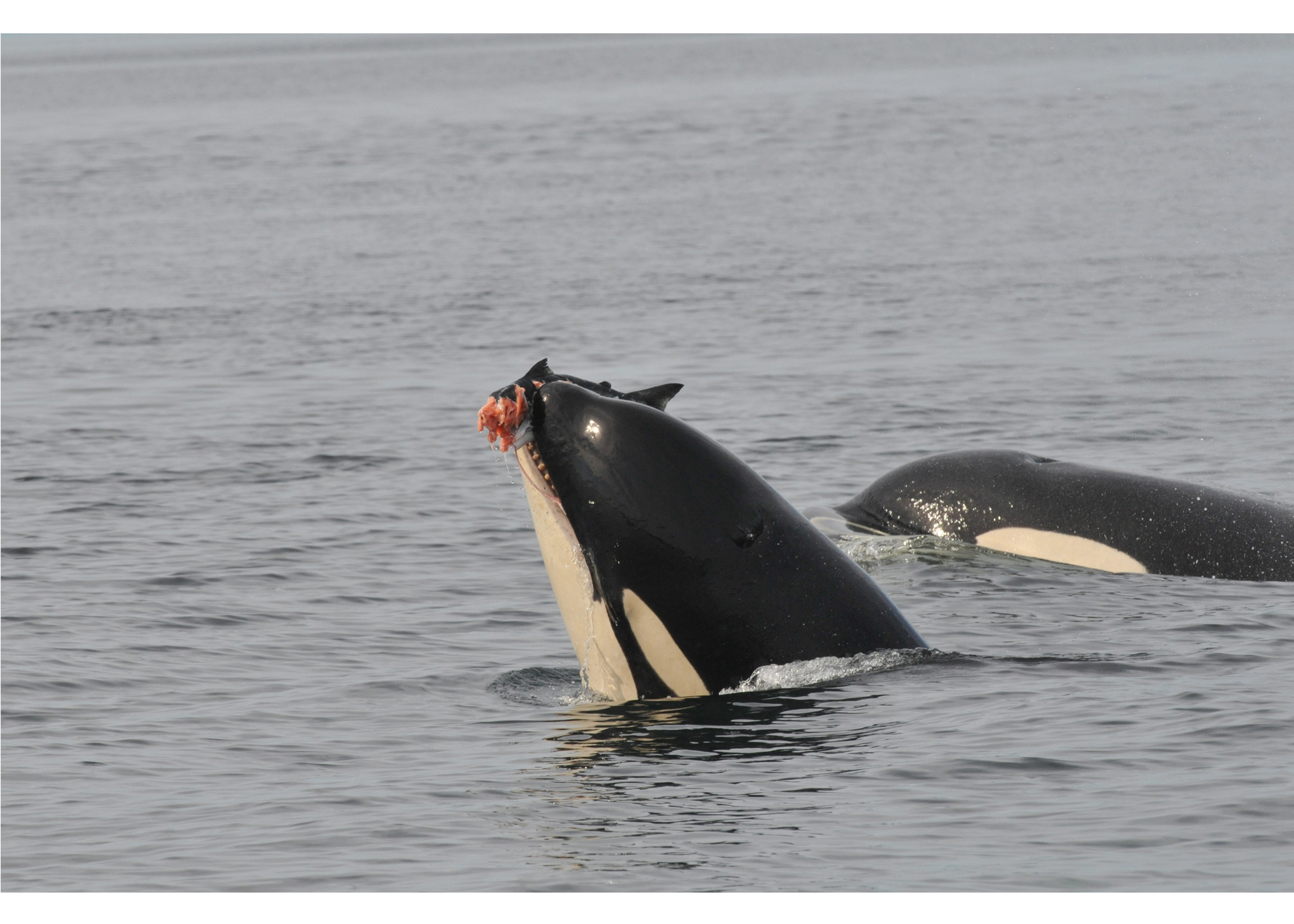 orca with salmon